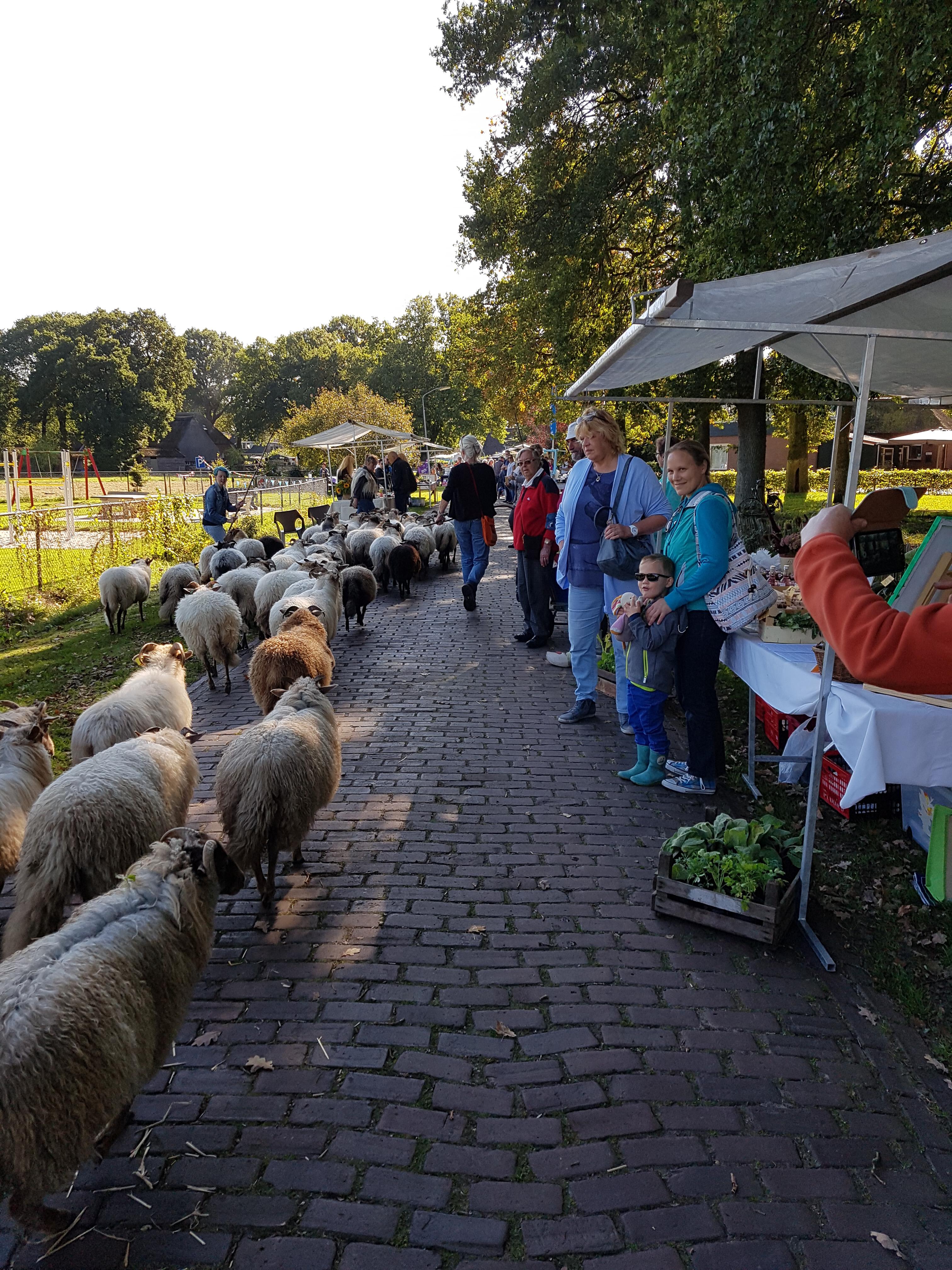 De schappskudde van Bennevelt op het Oogstfeest Meppen